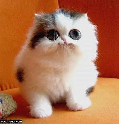 ras termasuk kucing yang paling sering dicari dan mahal