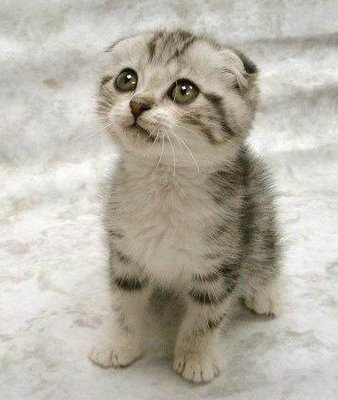 Fakta tentang kucing « Anc_Nbx'Poenya